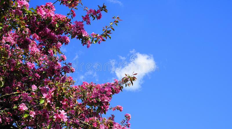 De boom van Crabapple van de Malusroyalty met opzichtige en heldere bloemen tegen blauwe hemelachtergrond De Bloesem van de appel royalty-vrije stock foto's