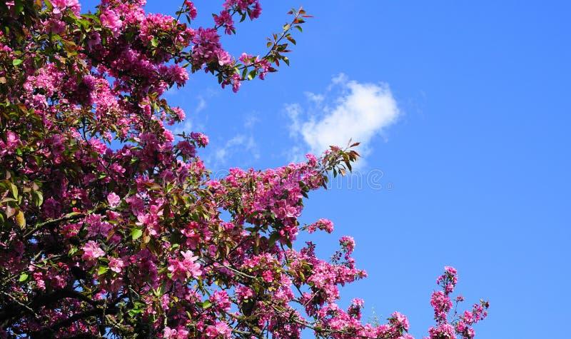 De boom van Crabapple van de Malusroyalty met opzichtige en heldere bloemen tegen blauwe hemelachtergrond De Bloesem van de appel royalty-vrije stock afbeeldingen