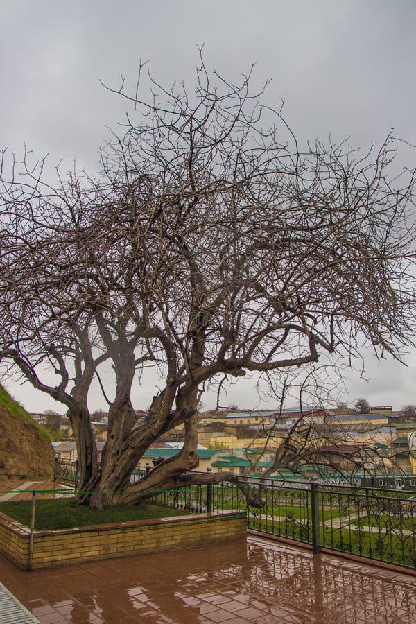 de boom van de 500 éénjarigenpistache dichtbij graf van helderziende Daniel of Heilig royalty-vrije stock afbeelding