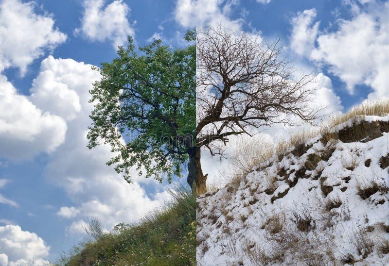 De boom van de abrikoos op een heuvel in twee tegenovergestelde seizoenen stock foto's