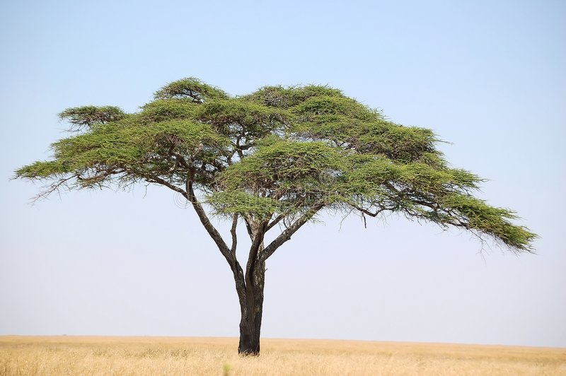 De Boom van de acacia royalty-vrije stock foto