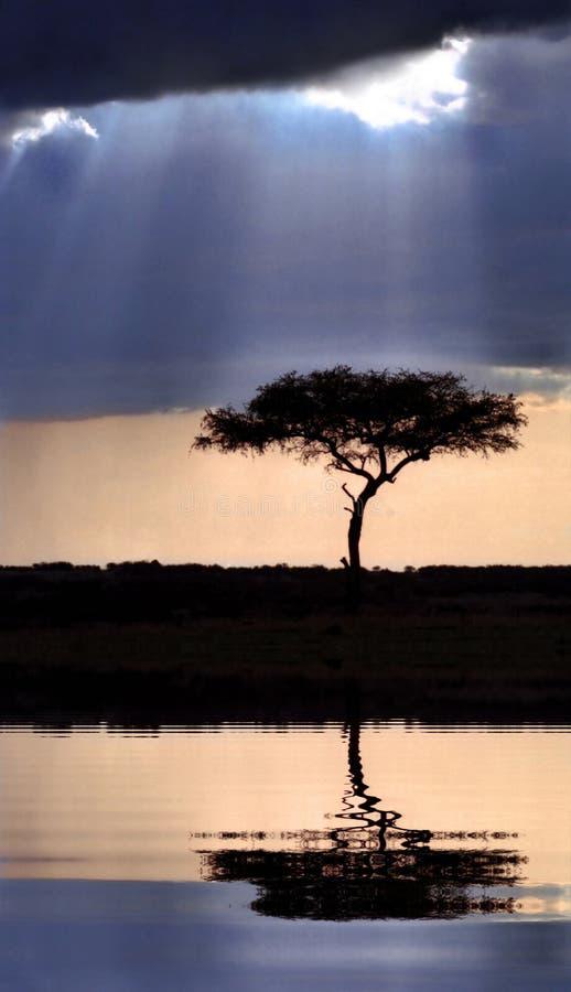 De boom van de acacia bij zonsondergang stock foto's