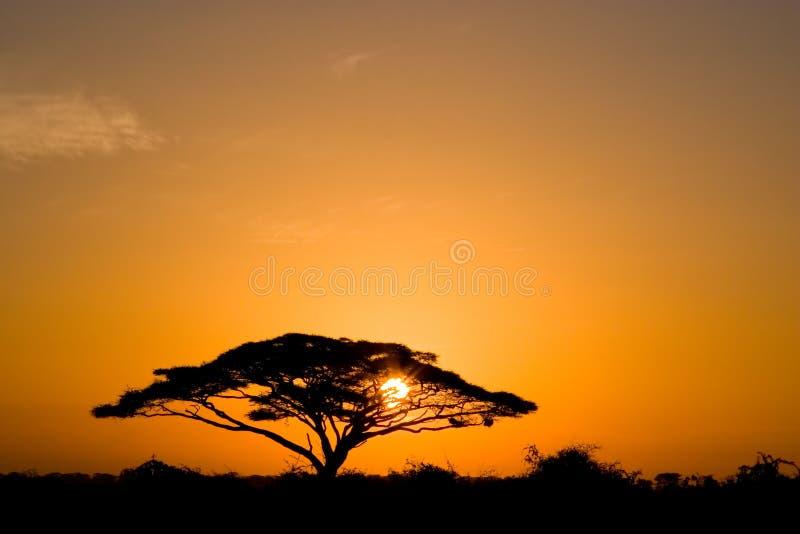 De Boom van de acacia bij Zonsopgang stock foto's