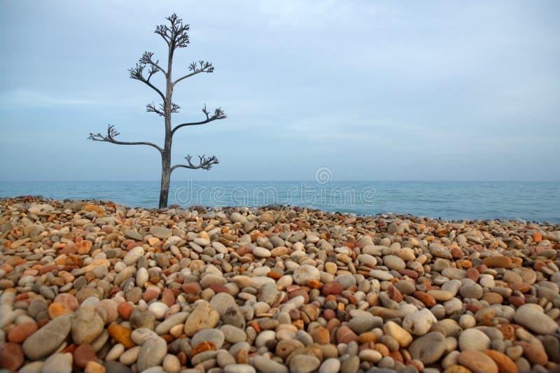 De boom van de agave op een rollend steenstrand royalty-vrije stock fotografie