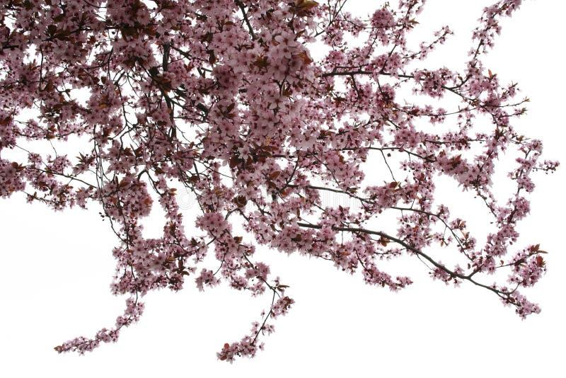 De boom van de amandel stock foto