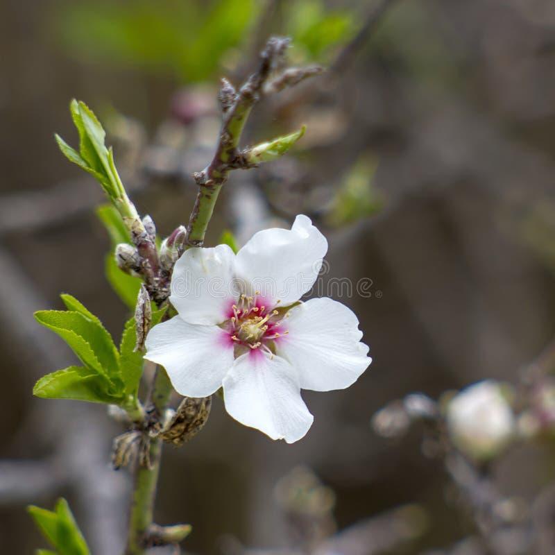 De boom van de amandel met witte bloem royalty-vrije stock afbeelding