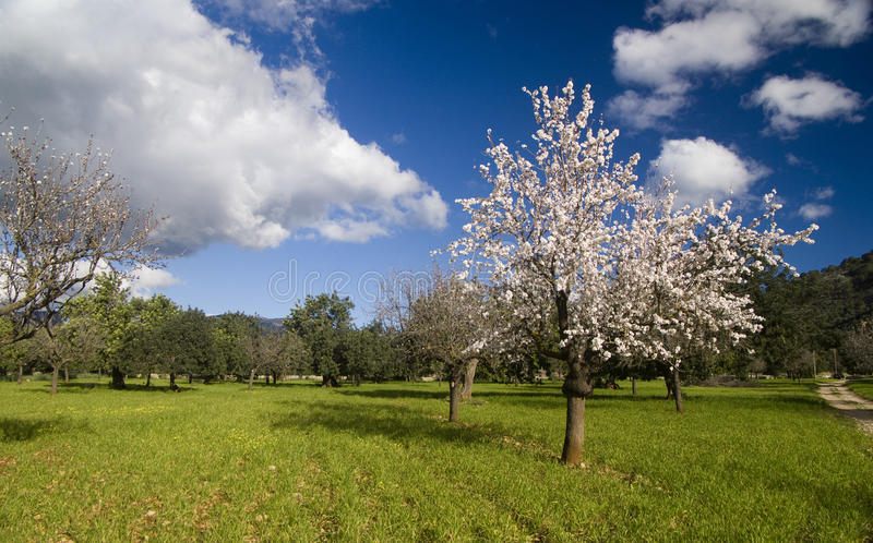 De boom van de amandel in platteland stock foto
