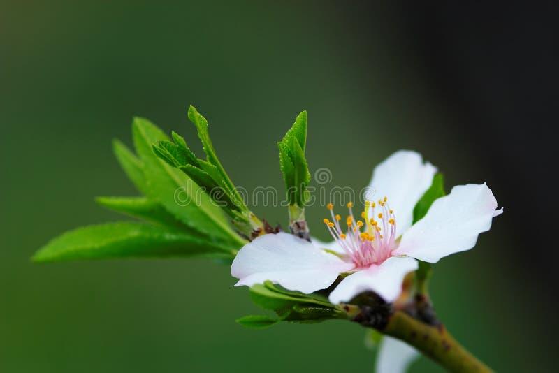De Boom van de Amandel van de bloem stock foto's