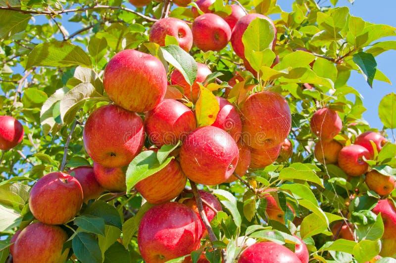 De Boom van de appel stock foto's