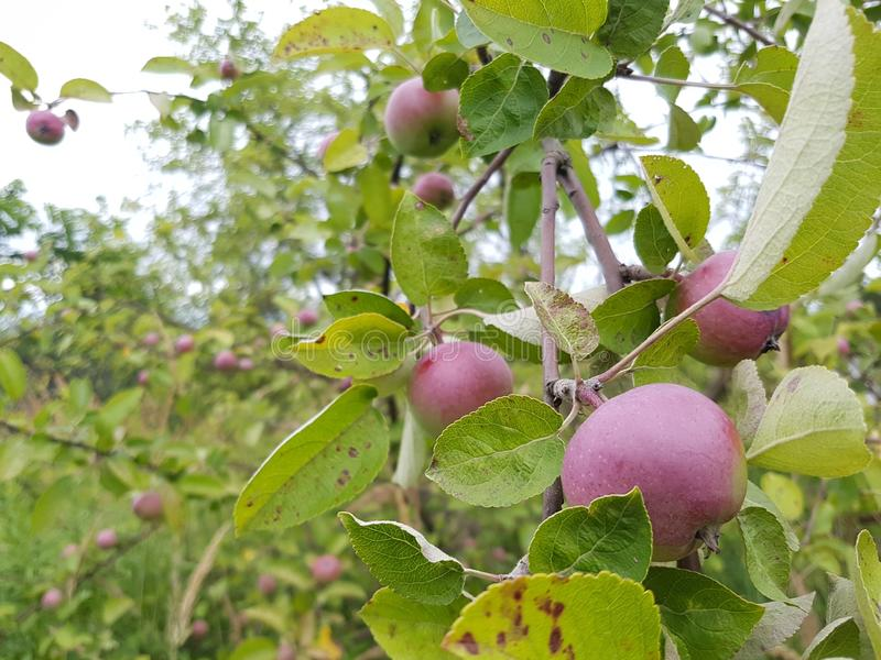 De boom van de appel royalty-vrije stock afbeelding