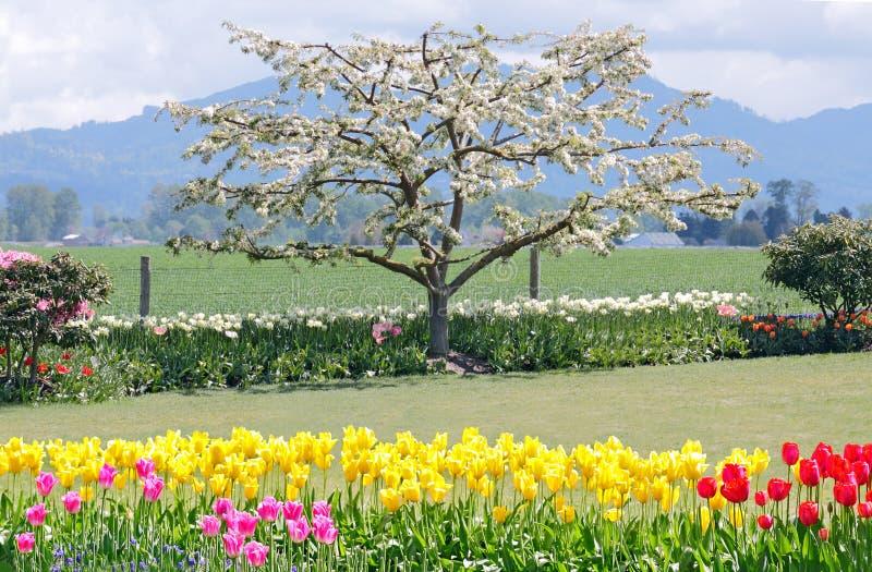 De Boom van de appel in Bloei royalty-vrije stock afbeeldingen