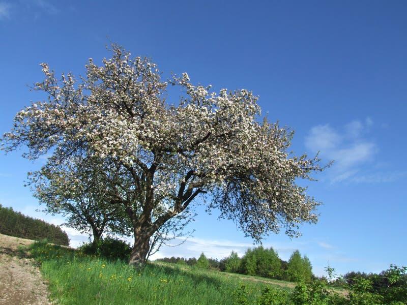 De boom van de appel in de lente stock foto's