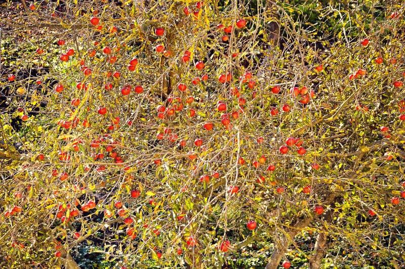 De boom van de appel met rode vruchten royalty-vrije stock afbeeldingen
