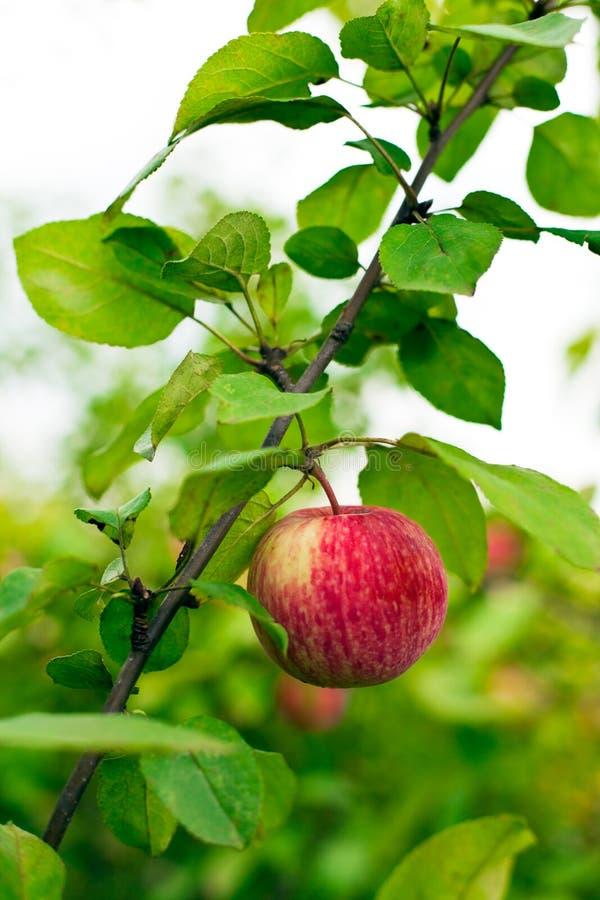 De boom van de appel in overwoekerde tuin royalty-vrije stock foto