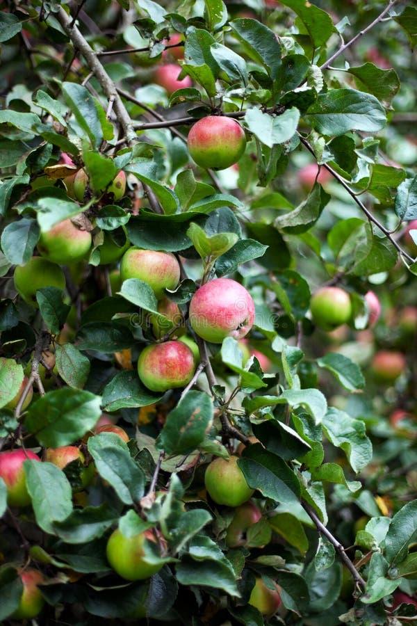 De boom van de appel in overwoekerde tuin stock fotografie