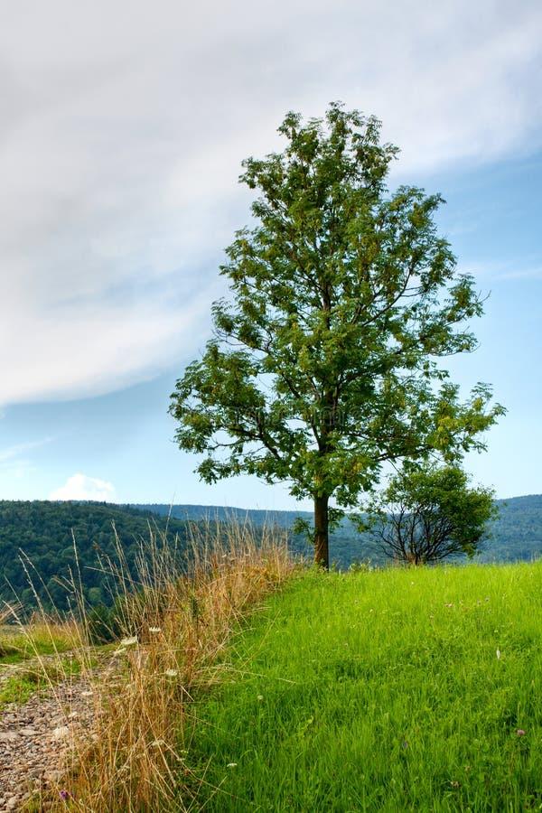 De boom van de as stock foto