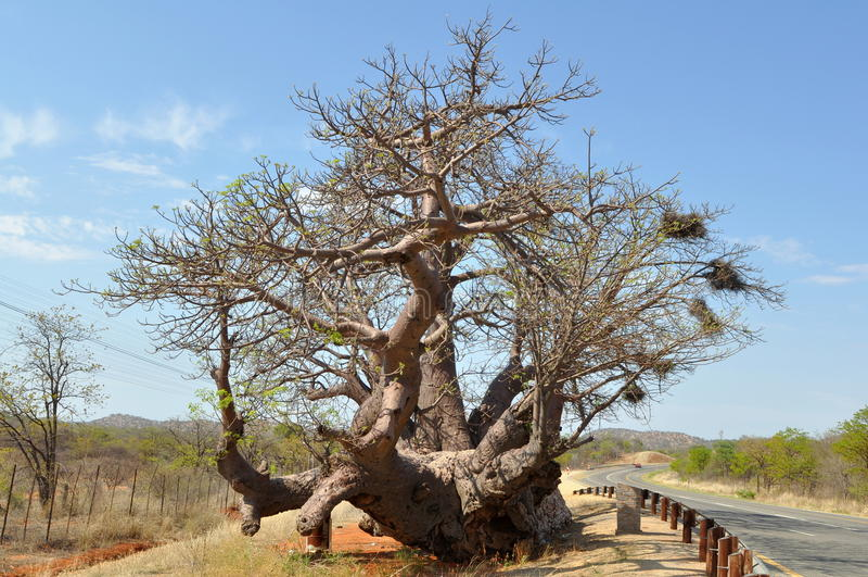 De boom van de baobab royalty-vrije stock foto