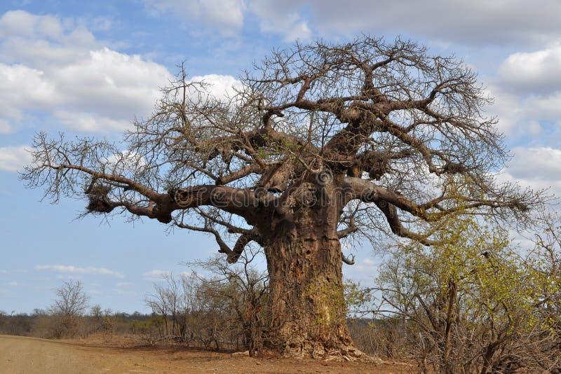 De boom van de baobab stock foto