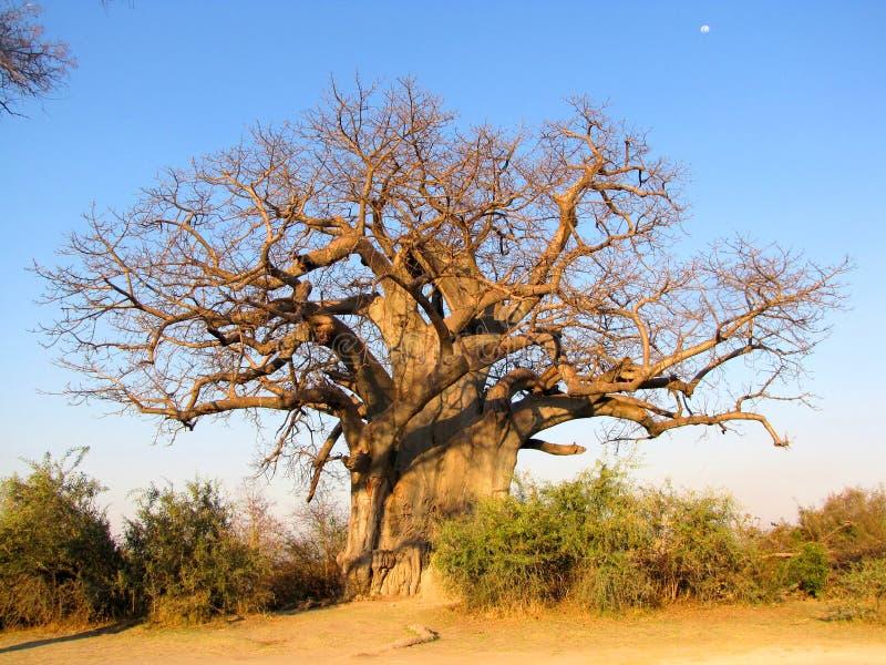 De boom van de baobab royalty-vrije stock fotografie