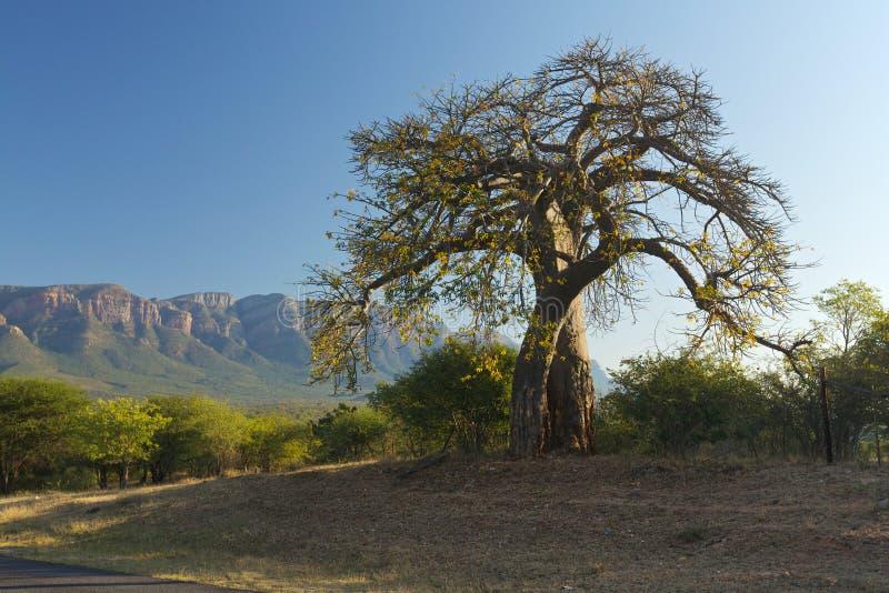 De boom van de baobab royalty-vrije stock afbeelding