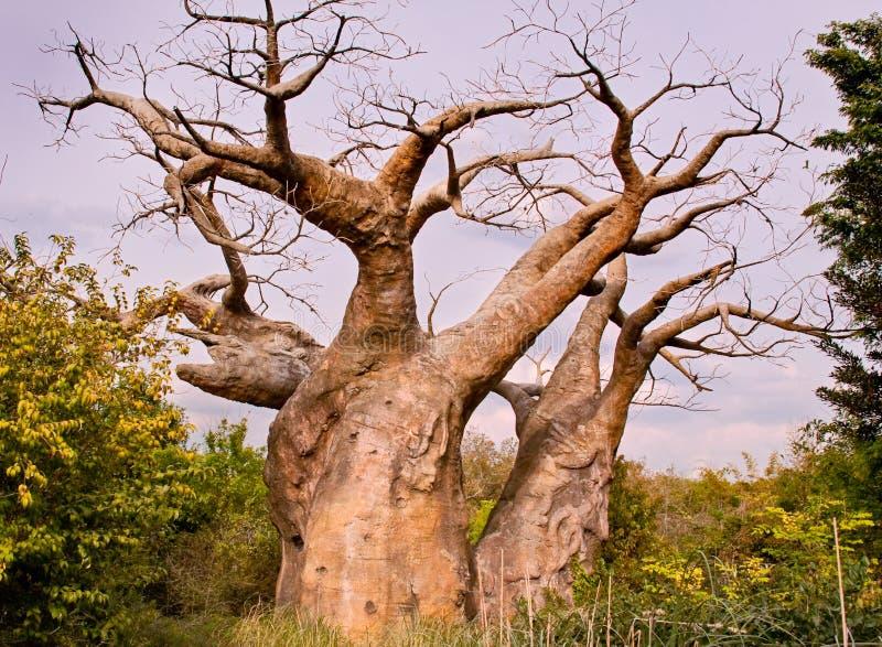De boom van de baobab stock foto's