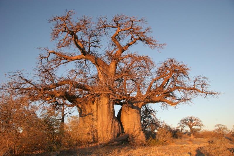 De boom van de baobab in Botswana stock foto
