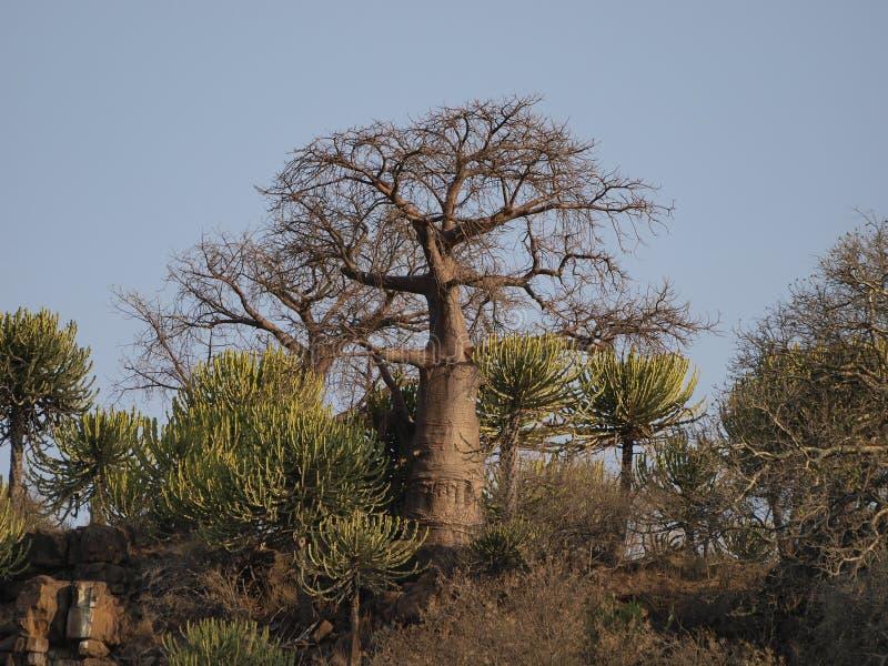 De boom van de baobab royalty-vrije stock foto's