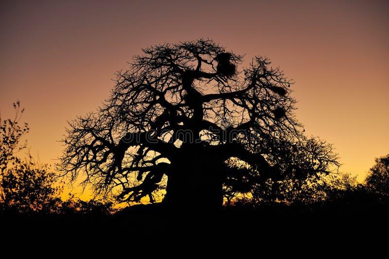 De Boom van de baobab (digitata Adansonia) royalty-vrije stock foto