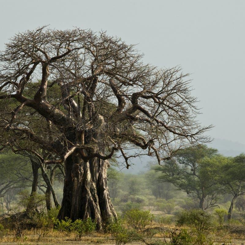 De boom van de baobab in landschap, Tanzania stock fotografie
