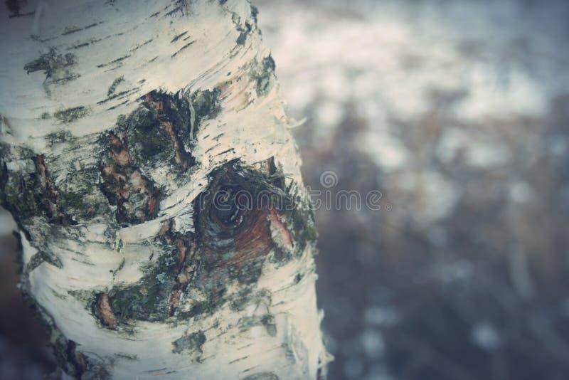 De boom van de berk royalty-vrije stock foto