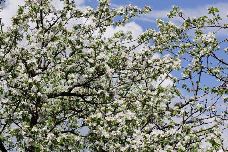 De boom van de bloemenappel stock afbeelding