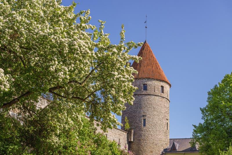 De boom van de bloesemappel tegen middeleeuwse toren stock afbeeldingen