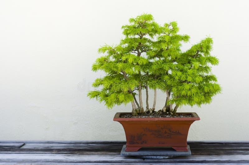 Download De Boom van de bonsai stock afbeelding. Afbeelding bestaande uit miniatuur - 10775211
