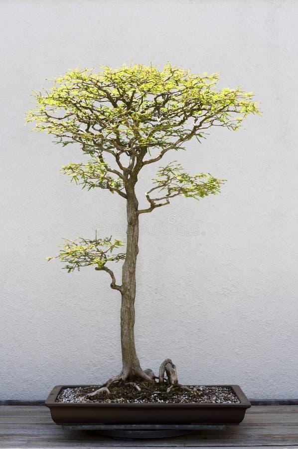 Download De Boom van de bonsai stock afbeelding. Afbeelding bestaande uit klein - 10775419