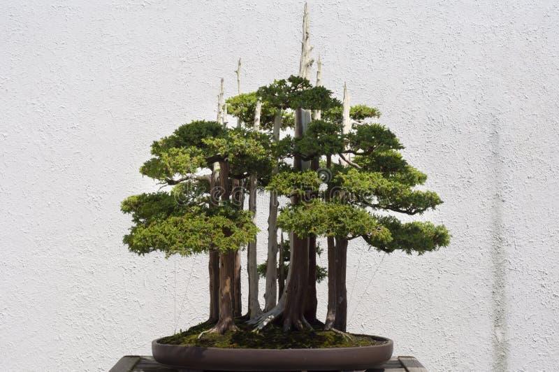 Download De Boom van de bonsai stock foto. Afbeelding bestaande uit klein - 10775490