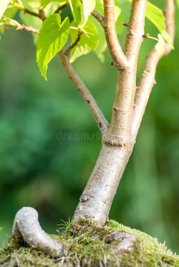De boom van de bonsai royalty-vrije stock fotografie