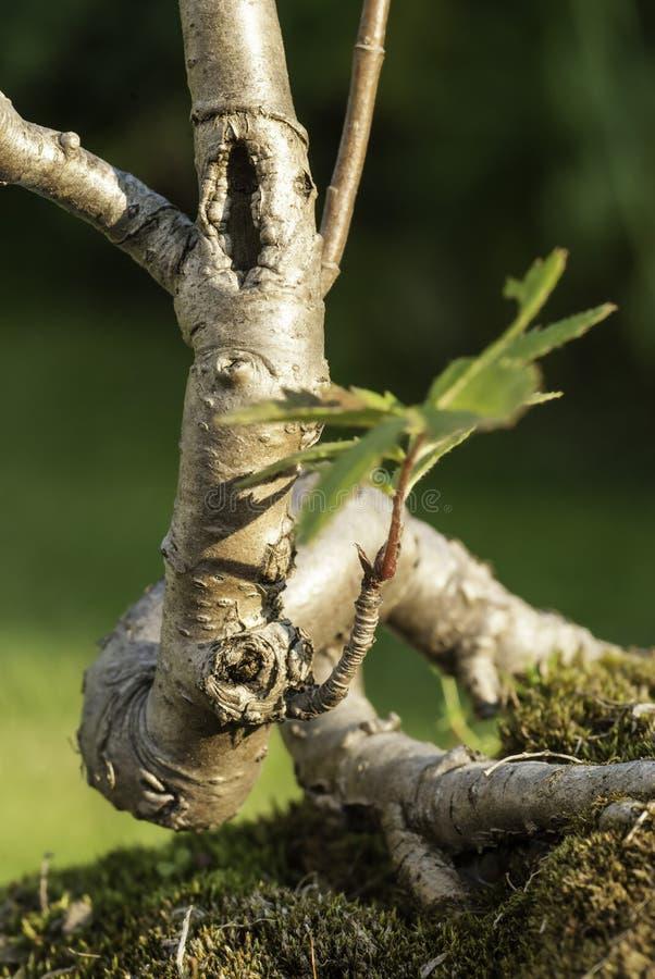 De boom van de bonsai royalty-vrije stock afbeelding
