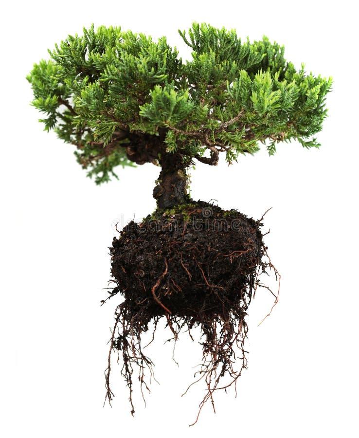 De boom van de bonsai royalty-vrije stock foto's