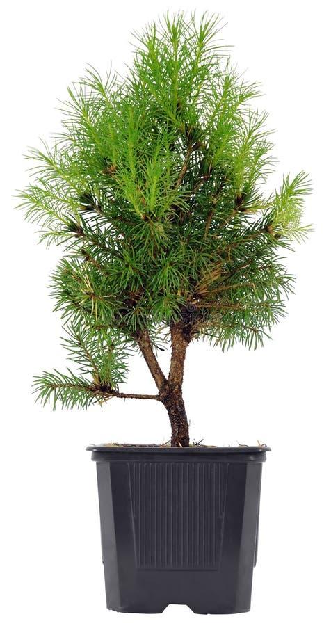 De Boom van de bonsai in een plastic pot op een wit stock afbeelding