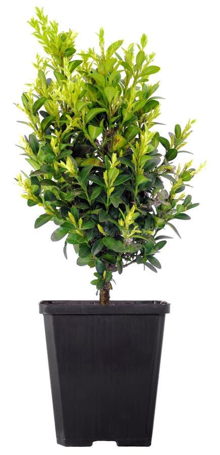 De Boom van de bonsai in een plastic pot op een wit stock fotografie