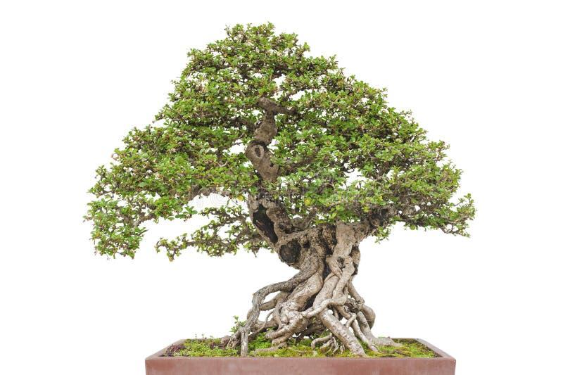 De boom van de bonsaipijnboom stock foto's