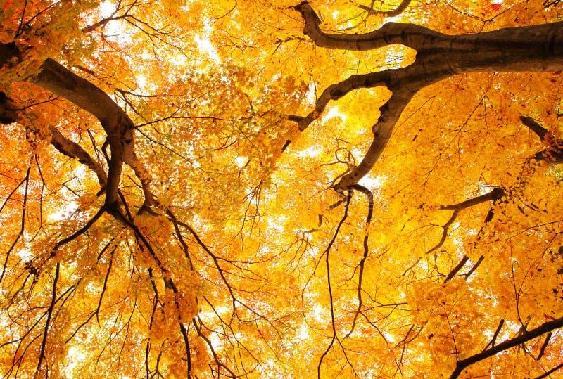 De boom van de de herfstesdoorn stock afbeelding