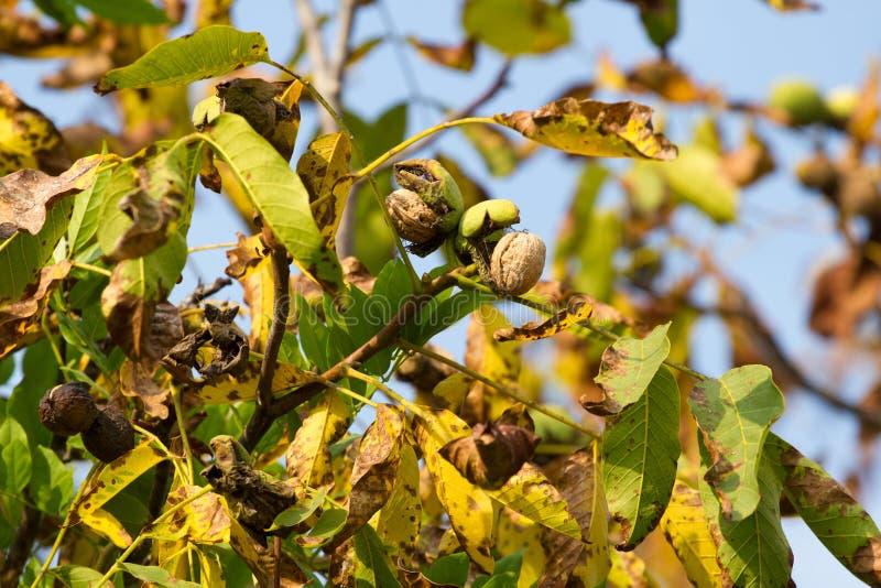 De boom van de de herfstokkernoot met gebarsten open rijpe vruchten Tak groene en gele bladeren stock afbeelding