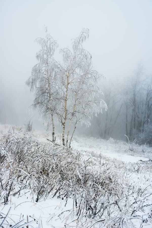De boom van de dekkingsberk bij bevroren de winterbos royalty-vrije stock fotografie