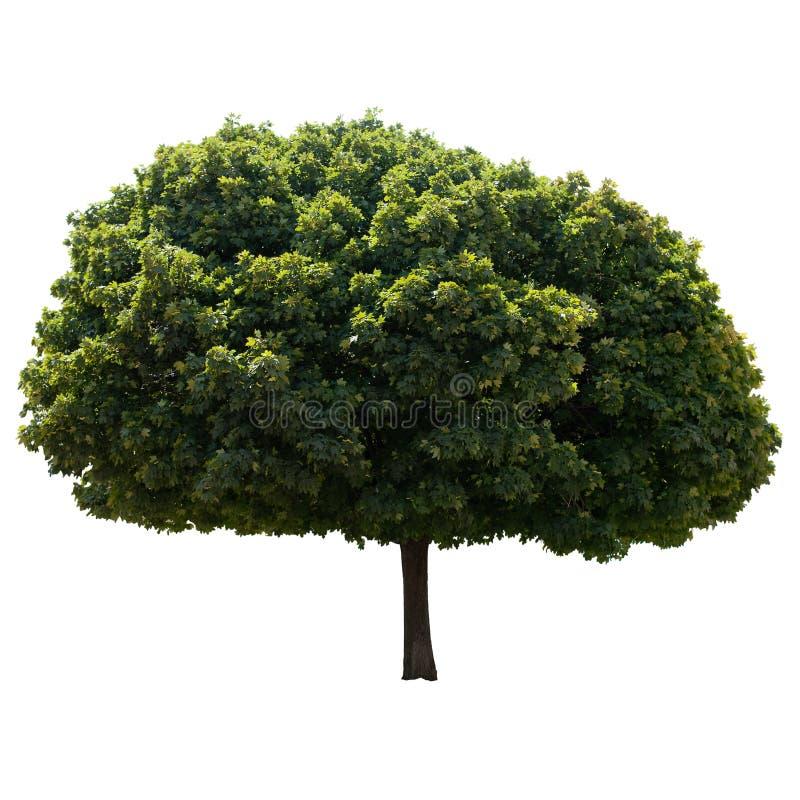 De boom van de esdoorn. royalty-vrije stock foto