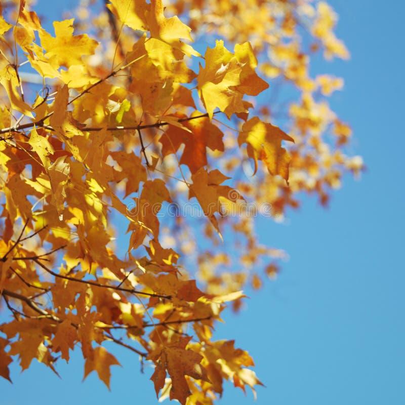 De boom van de esdoorn in de kleur van de Daling stock afbeelding