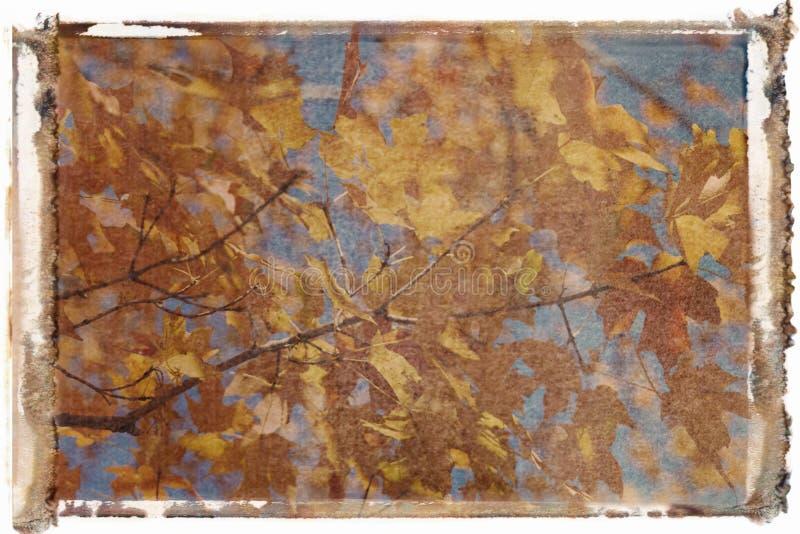 De boom van de esdoorn in de kleur van de Daling. stock afbeeldingen