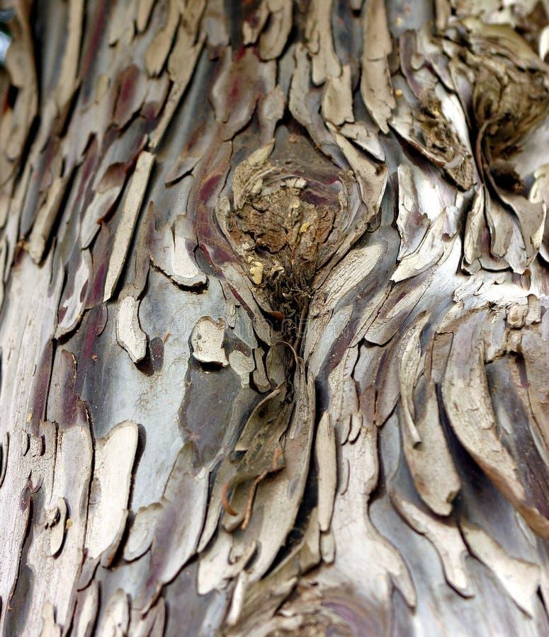 De boom van de eucalyptus royalty-vrije stock afbeeldingen