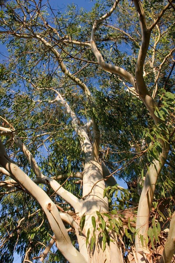 De Boom van de eucalyptus stock foto's