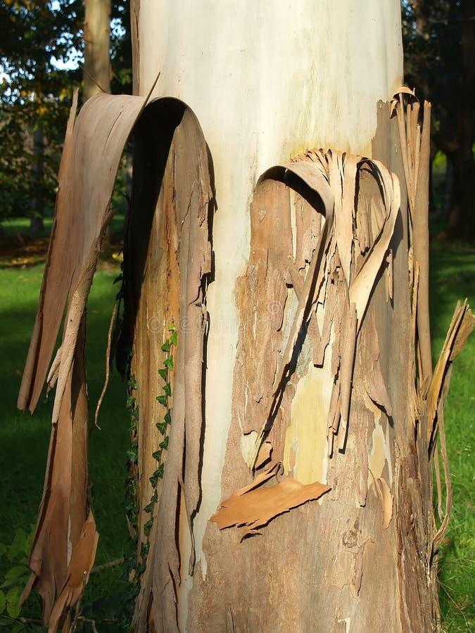 De Boom van de eucalyptus royalty-vrije stock afbeelding